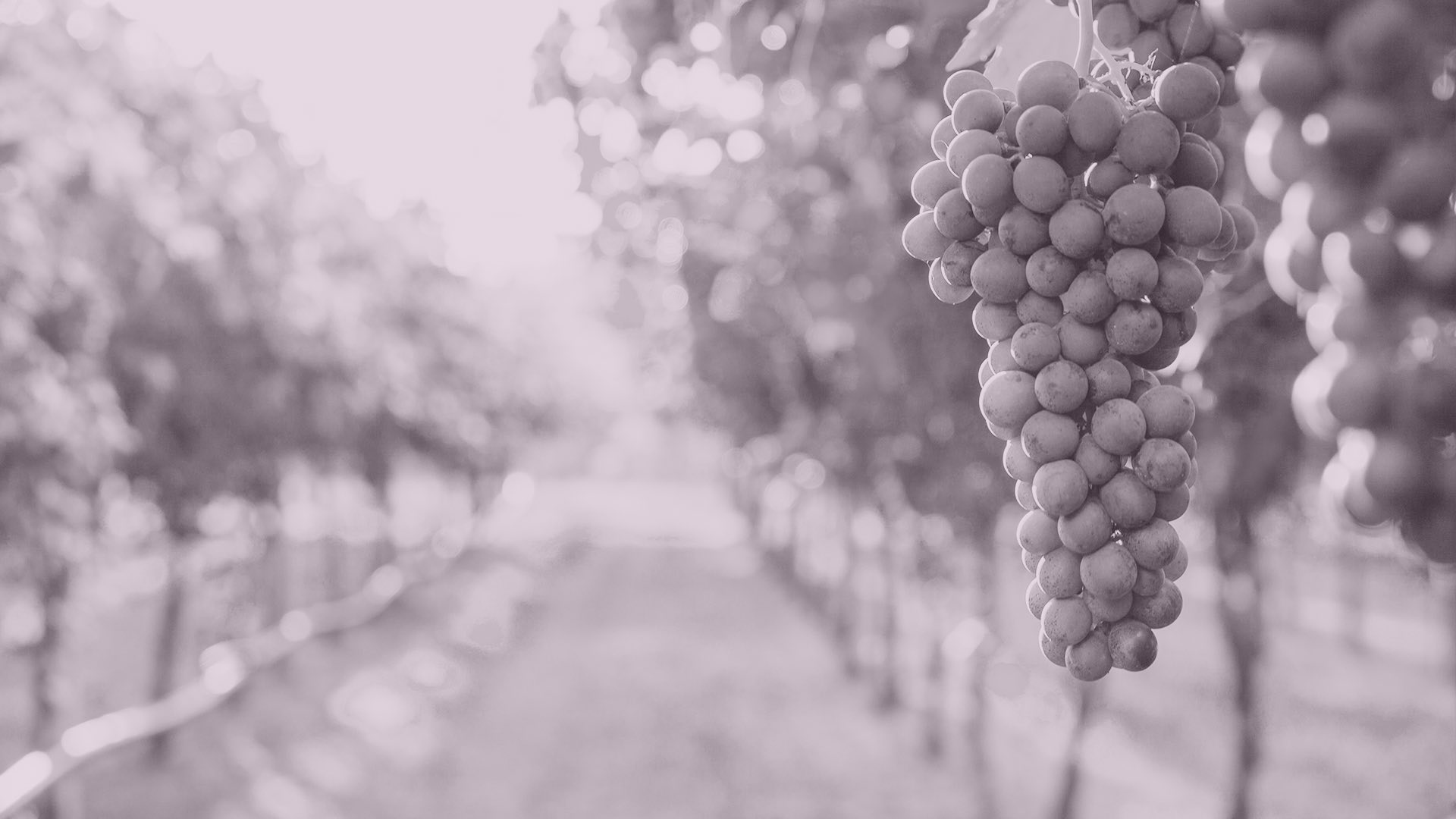 Grapes in the winery
